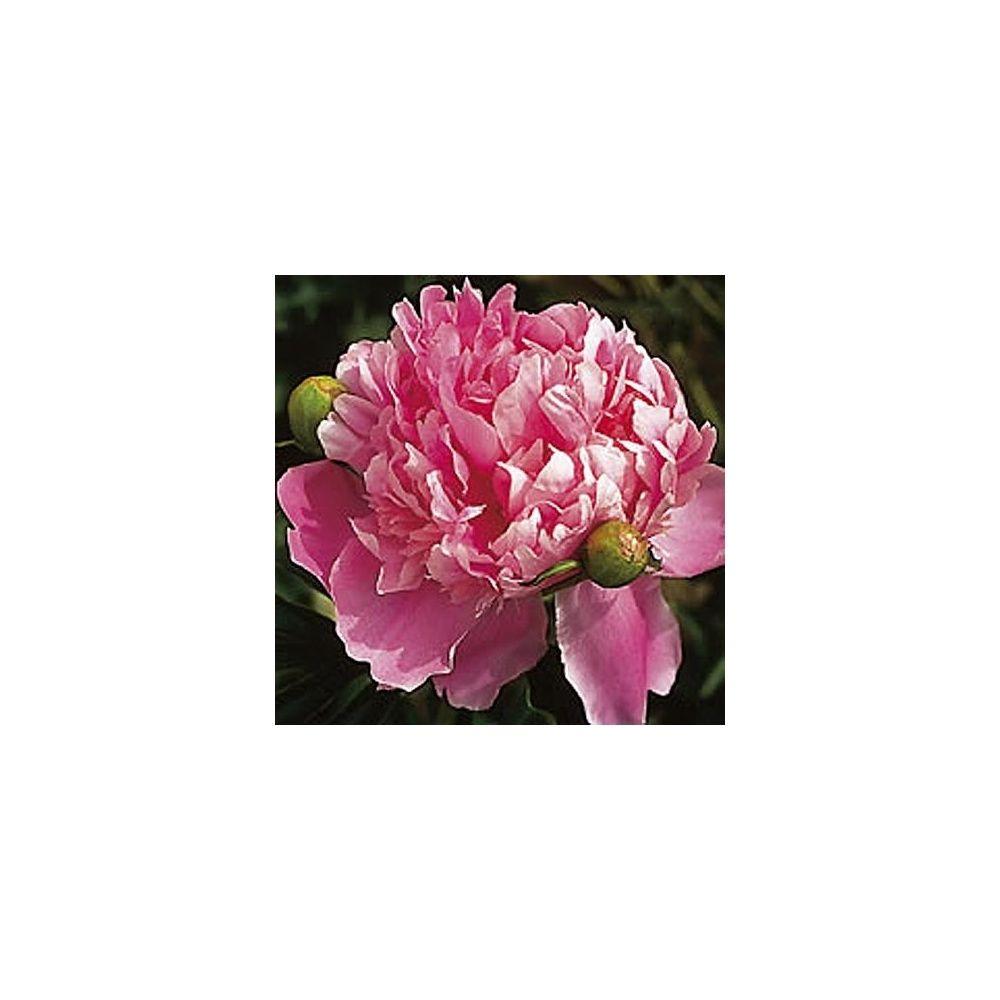 Pivoine herbac e 39 monsieur jules elie 39 plantes et jardins for Monsieur jardinage conseil