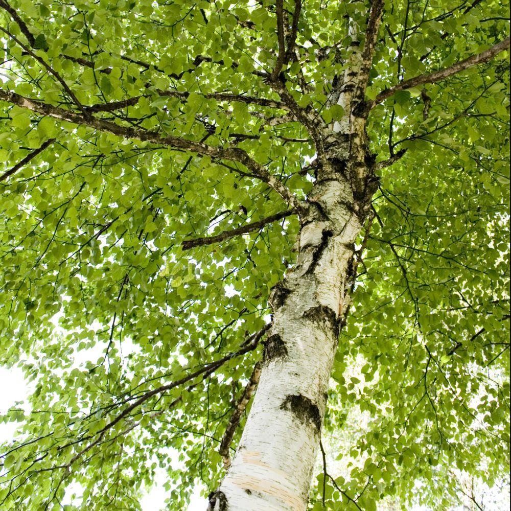 Arbre qui pousse vite arbres des arbres qui poussent trs vite listes des fruitiers resistance - Faire une haie qui pousse vite ...