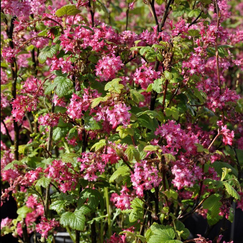 Groseillier fleurs 39 king edward vii 39 plantes et jardins for Jardin ornement fleurs