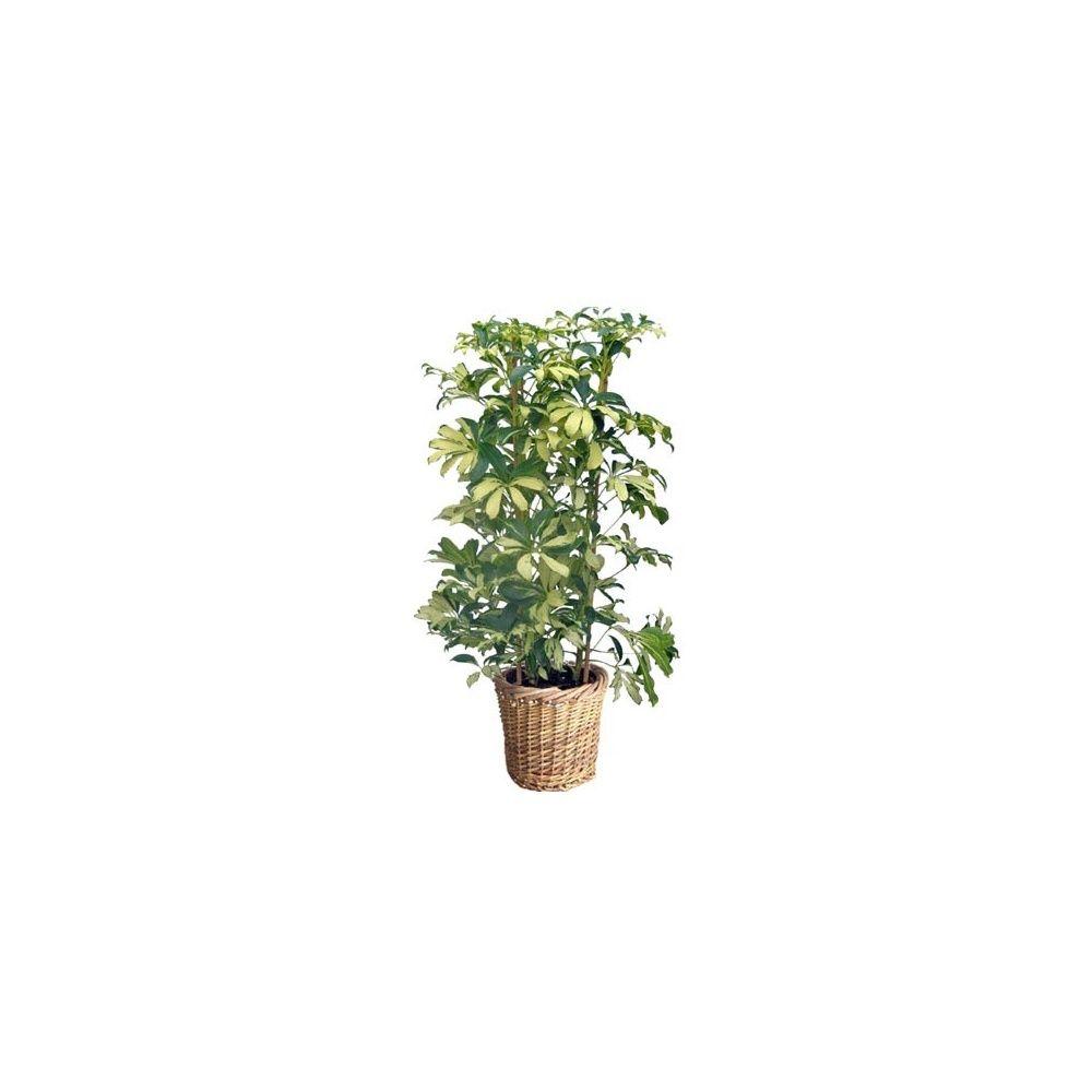schefflera 39 mme de smet 39 cache pot tress plantes et. Black Bedroom Furniture Sets. Home Design Ideas
