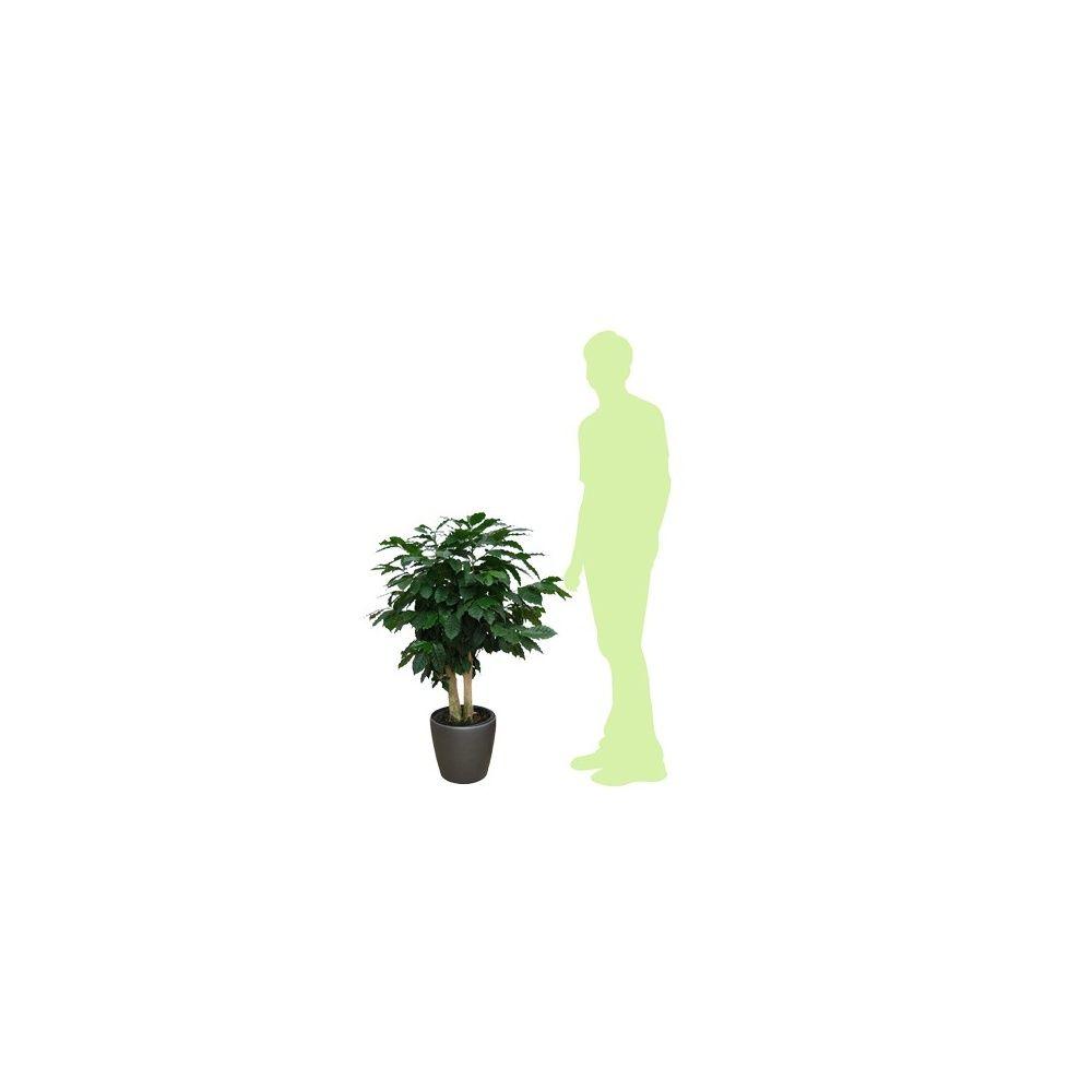 caf ier 2 troncs h120cm rempot dans pot classico. Black Bedroom Furniture Sets. Home Design Ideas