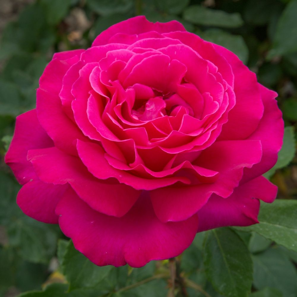 rosier 39 velasquez 39 rosier meilland plantes et jardins. Black Bedroom Furniture Sets. Home Design Ideas