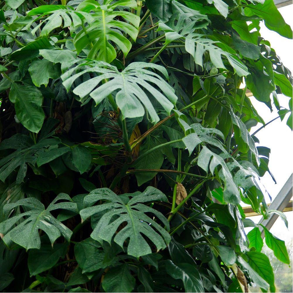 Philodendron monstera plantes et jardins for Plantes et jardins adresse