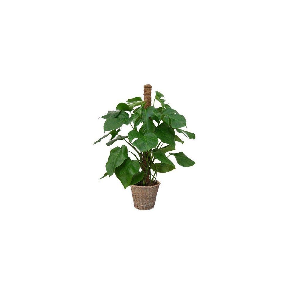 philodendron monstera tuteur mousse cache pot tress plantes et jardins. Black Bedroom Furniture Sets. Home Design Ideas