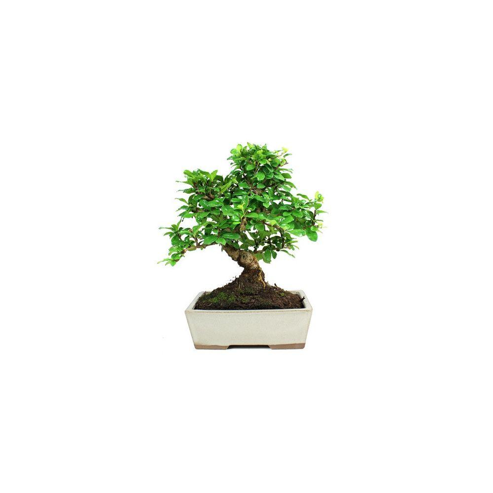 bonsai d interieur 28 images bonsa 239 d int 233 rieur tro 232 ne de chine 8 ans plantes et. Black Bedroom Furniture Sets. Home Design Ideas