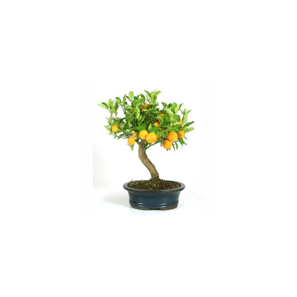bonsa d 39 int rieur citrus 10 ans plantes et jardins. Black Bedroom Furniture Sets. Home Design Ideas