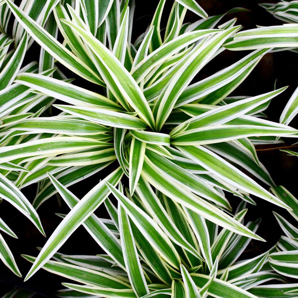chlorophytum comosum ocean plantes et jardins. Black Bedroom Furniture Sets. Home Design Ideas