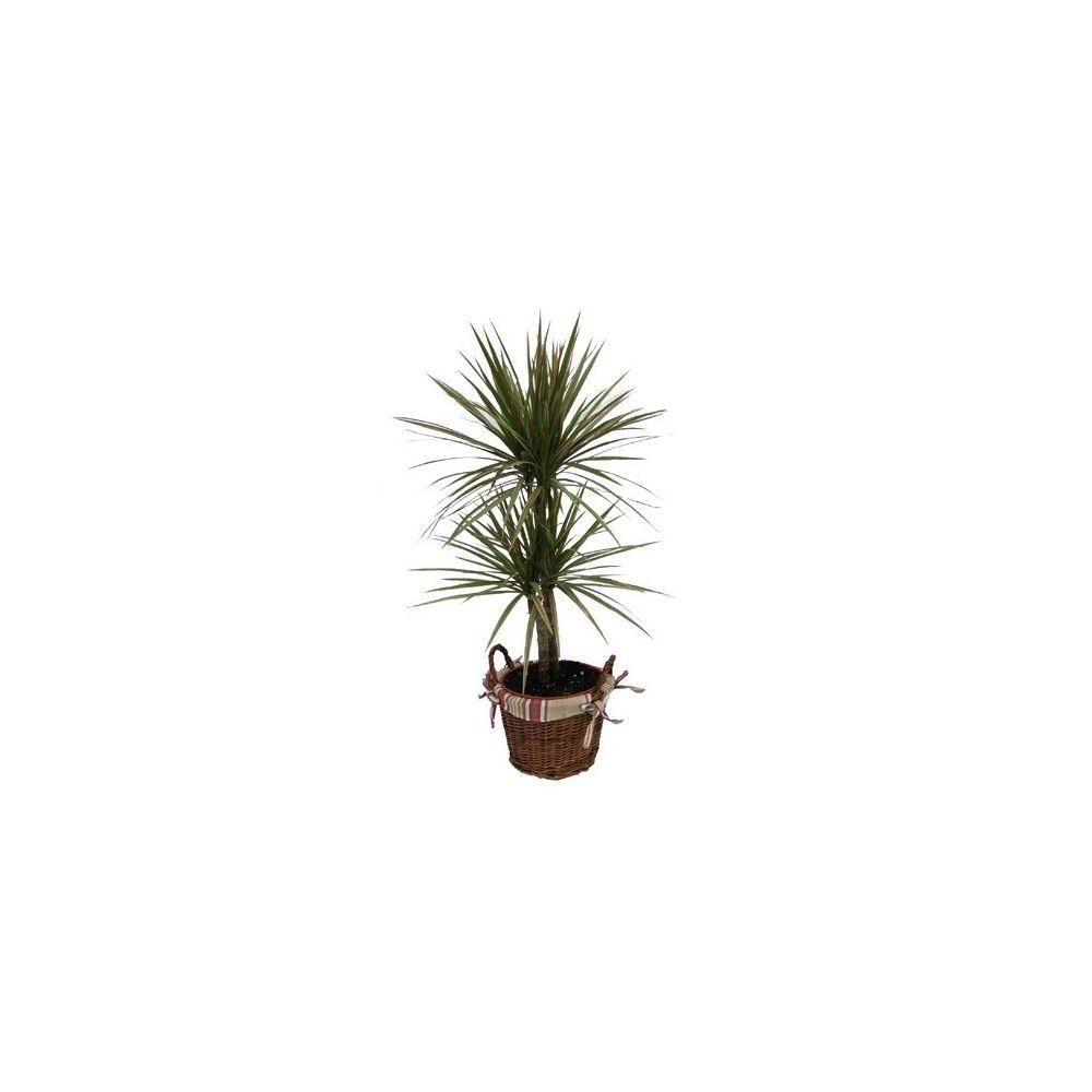 dracaena bicolor avec cache pot en osier et tissu. Black Bedroom Furniture Sets. Home Design Ideas