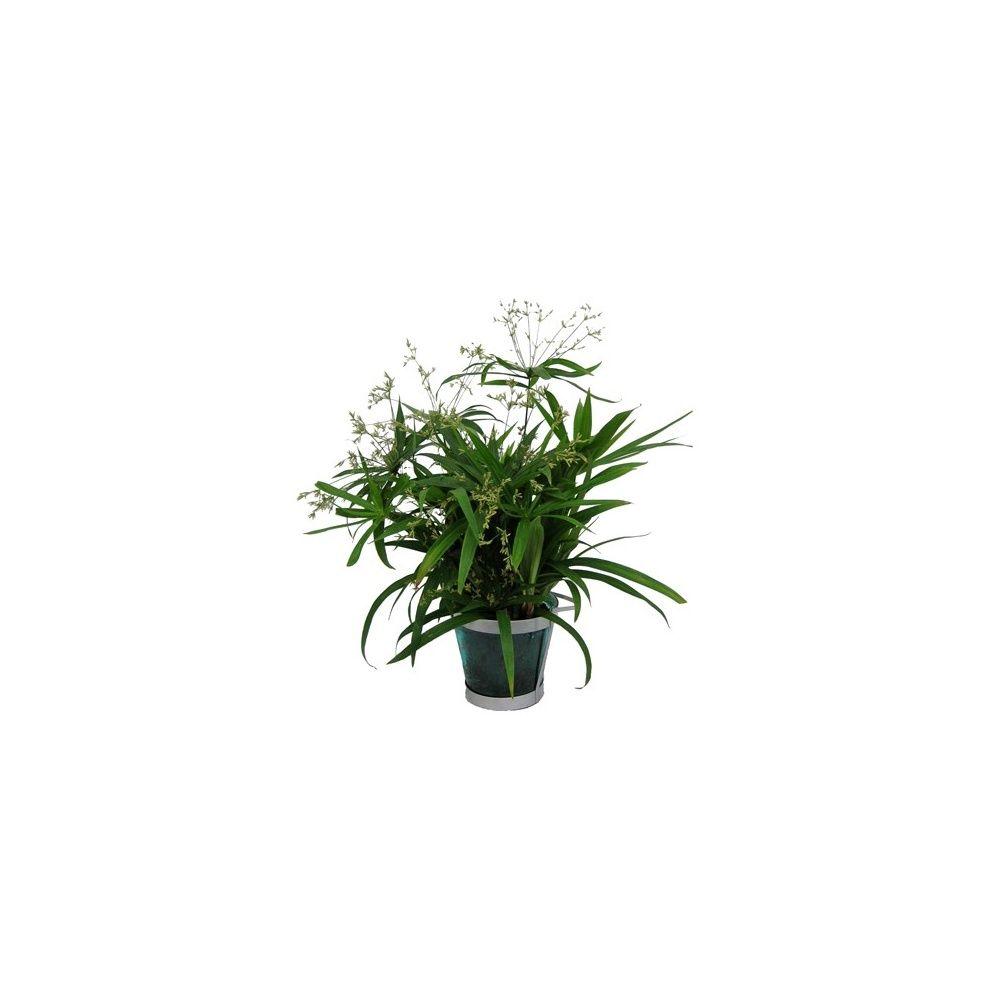 papyrus diffusus cache pot en verre plantes et jardins. Black Bedroom Furniture Sets. Home Design Ideas