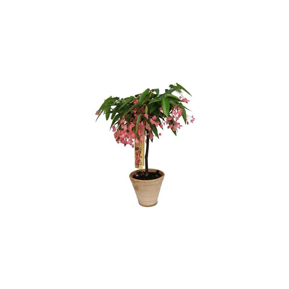 b gonia tamaya pot terre cuite plantes et jardins. Black Bedroom Furniture Sets. Home Design Ideas