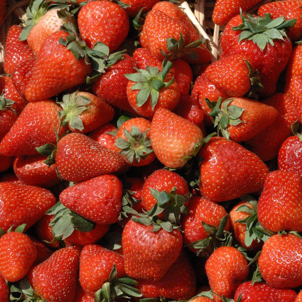 fraisier remontant 39 charlotte 39 plantes et jardins. Black Bedroom Furniture Sets. Home Design Ideas