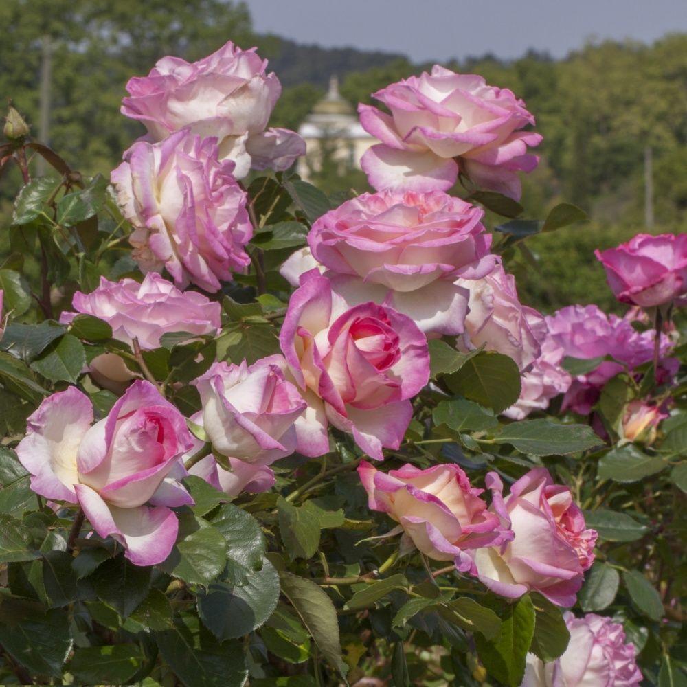 rosier grimpant 39 princesse de monaco 39 meibergami rosier meilland plantes et jardins. Black Bedroom Furniture Sets. Home Design Ideas