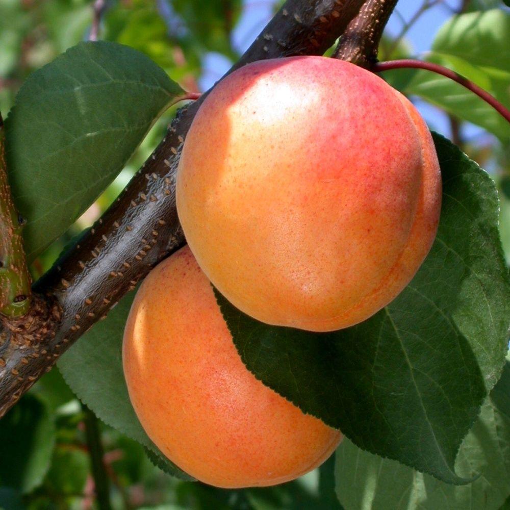 Abricotier 39 tardif de tain 39 scion plantes et jardins - Planter un noyau d abricot ...