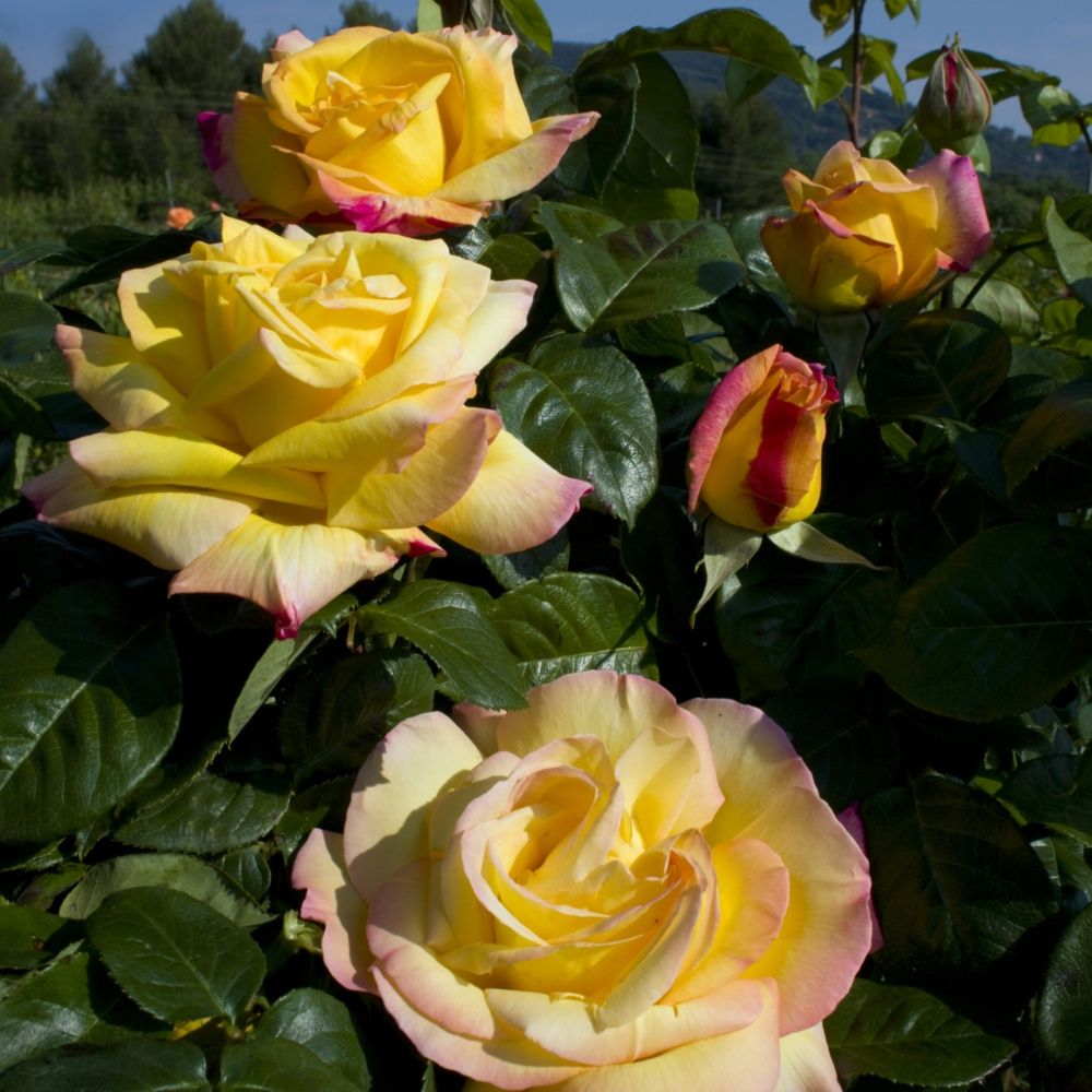 Rosier grimpant 39 mme a meilland 39 rosier meilland for Rosier jardin de france