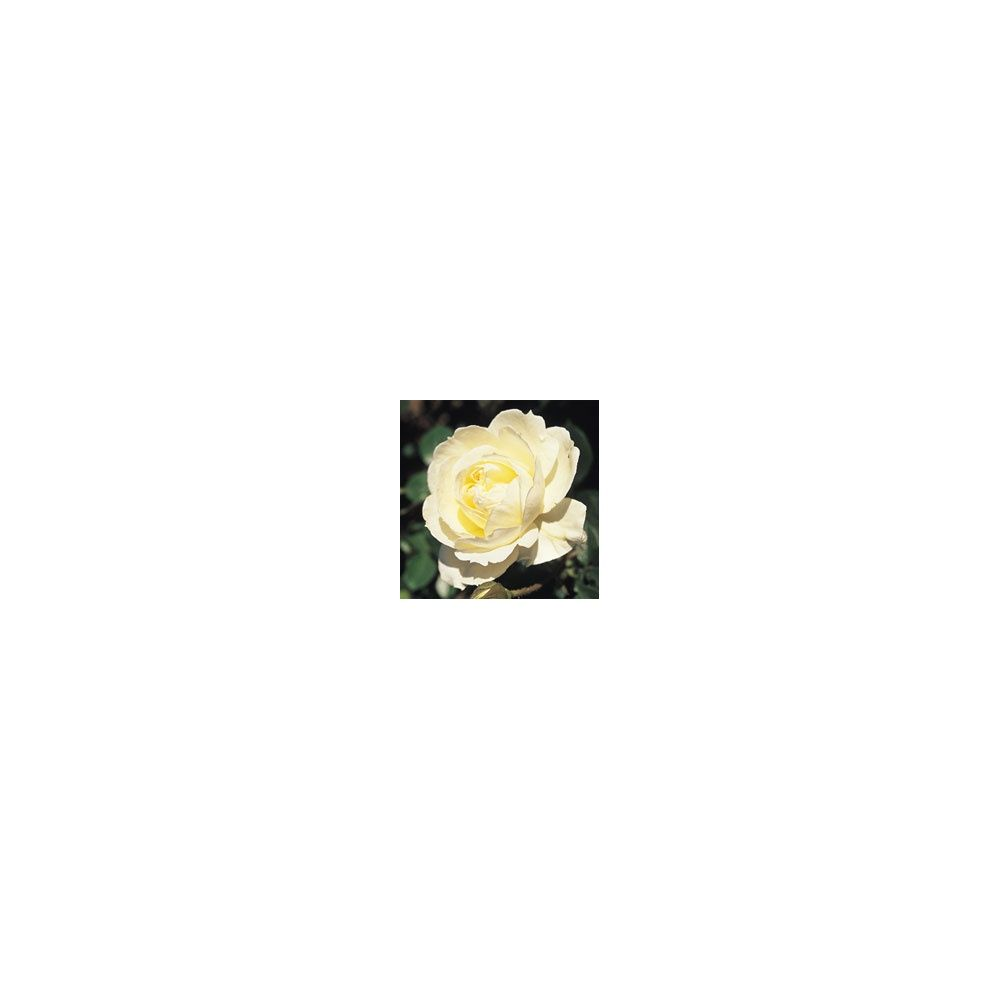 rosier grimpant 39 mon jardin et ma maison 39 meichavrin plantes et jardins. Black Bedroom Furniture Sets. Home Design Ideas