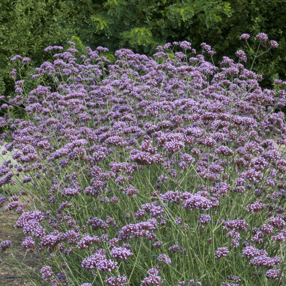 verveine de buenos aires plantes et jardins
