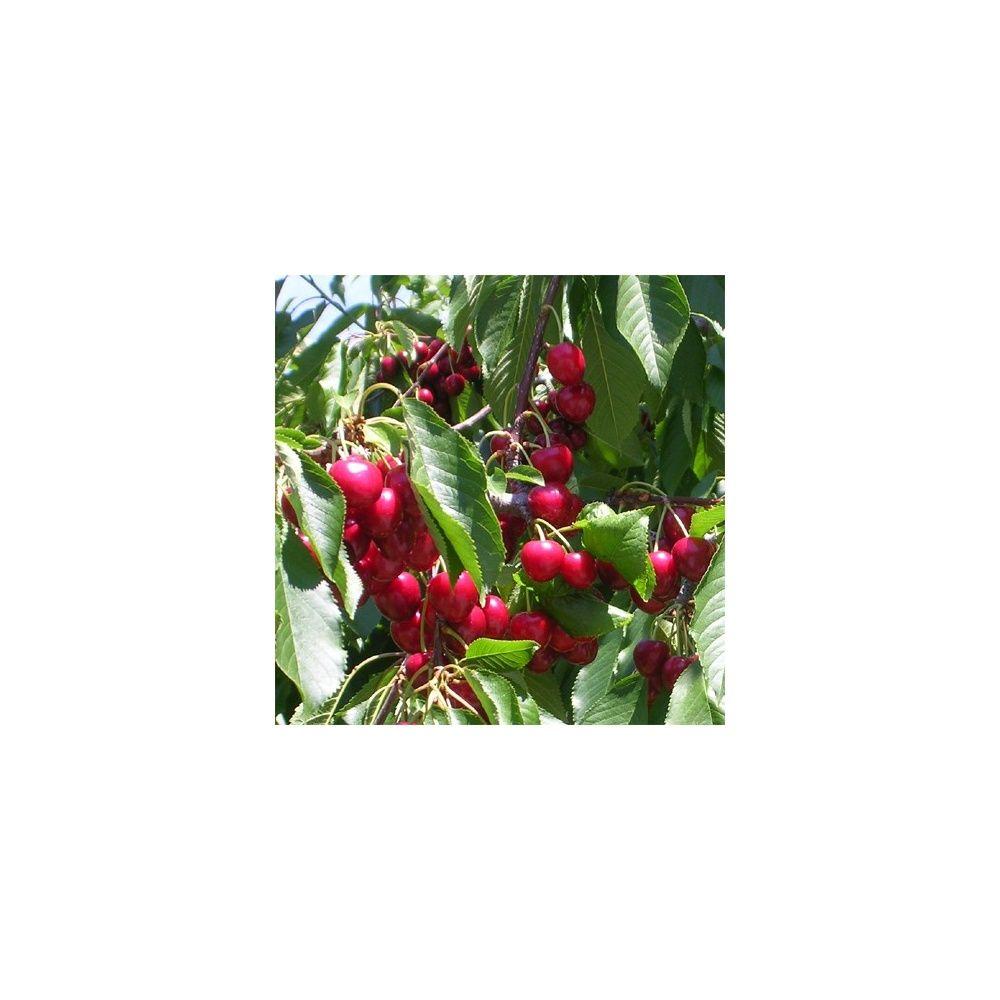 cerisier 39 bigarreau marmotte 39 taille en gobelet en pot plantes et jardins. Black Bedroom Furniture Sets. Home Design Ideas