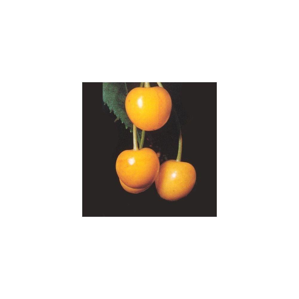 cerisier 39 jaune de butner 39 taille en gobelet en pot plantes et jardins. Black Bedroom Furniture Sets. Home Design Ideas