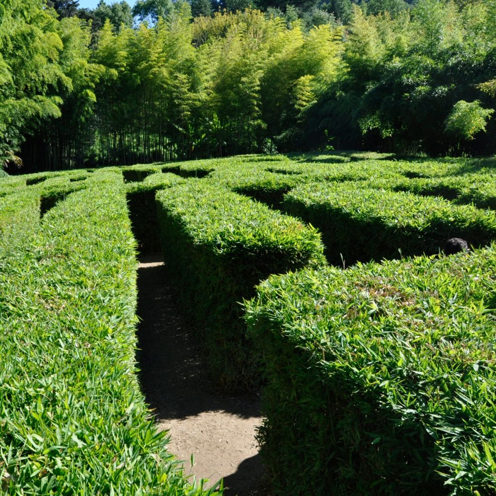 Petit bambou : Semiarundinaria Makinoi