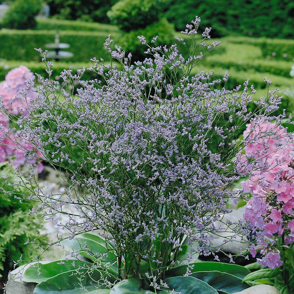 Limonium latifolium plantes et jardins for Plante et jardins