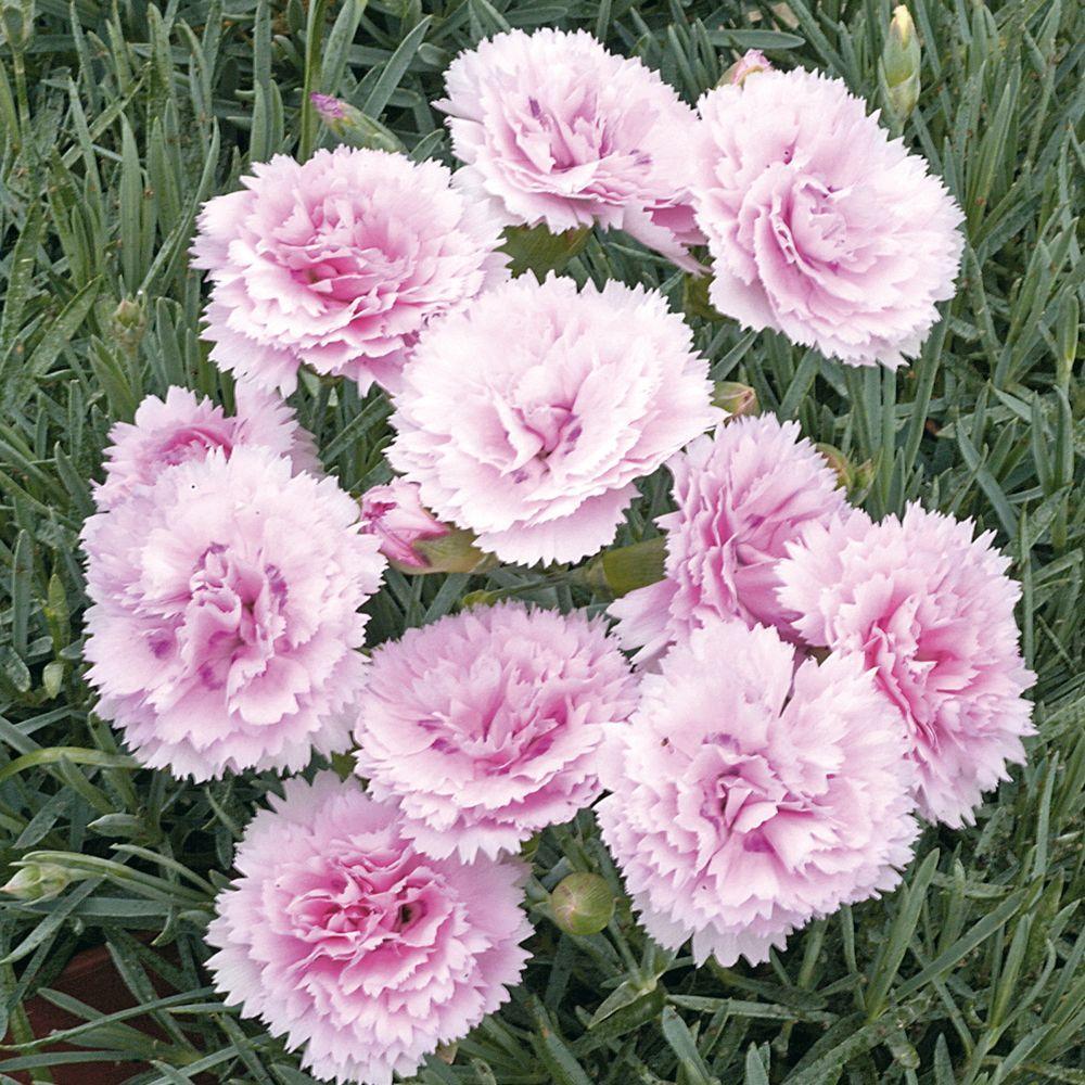 Oeillet anglais 39 candy floss 39 plantes et jardins for Planter en anglais