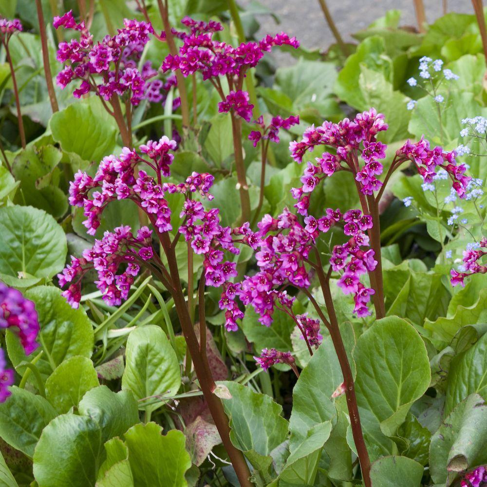 Bergenia abendglut plantes et jardins for Plantes a fleurs vivaces