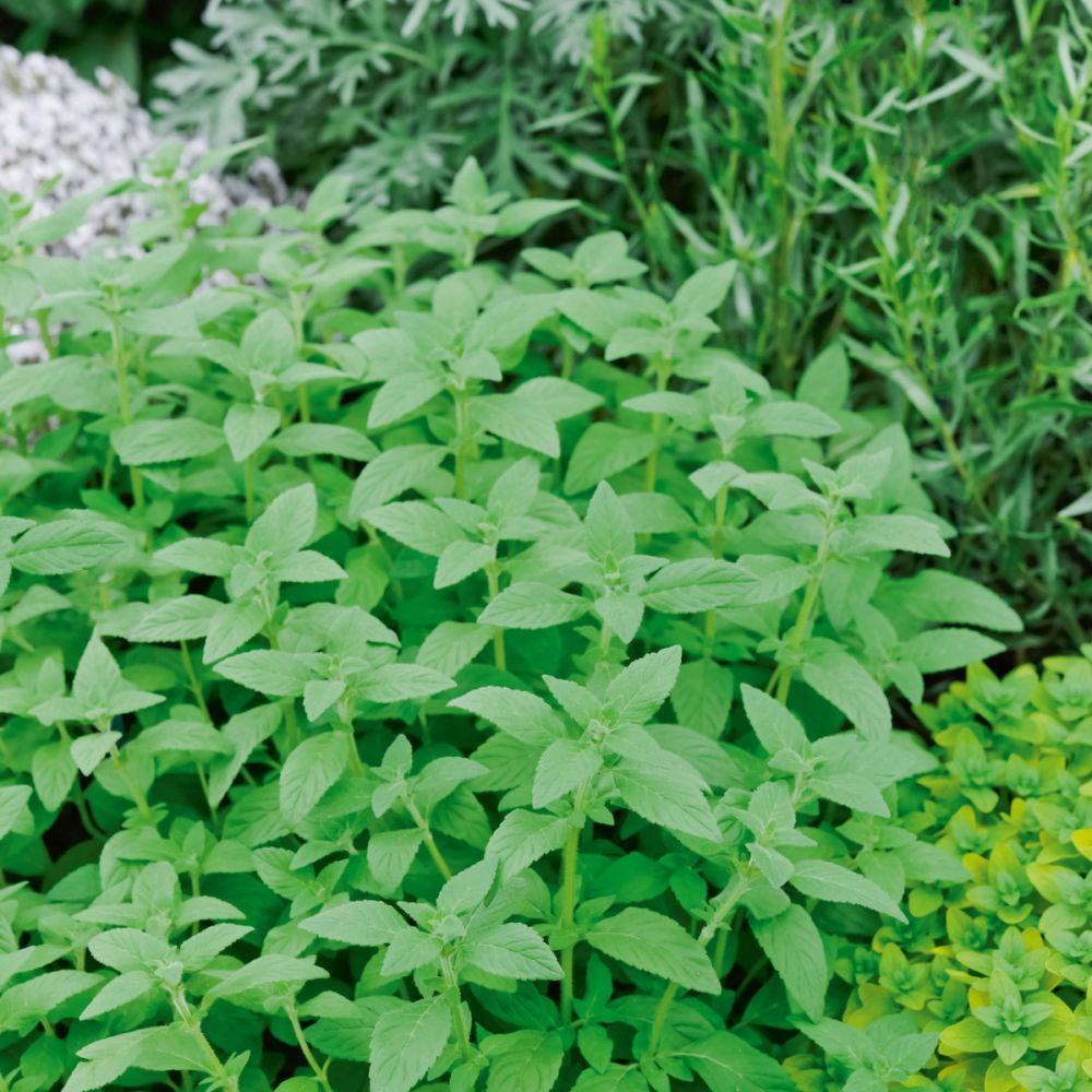 Menthe banane plantes et jardins for Plantes et jardins