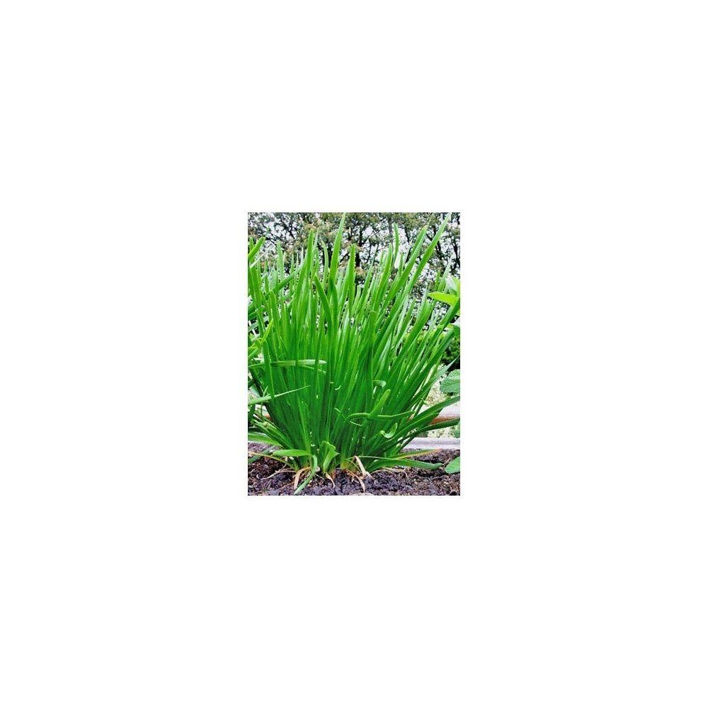 Ciboulette de chine plantes et jardins for Plante et jardins