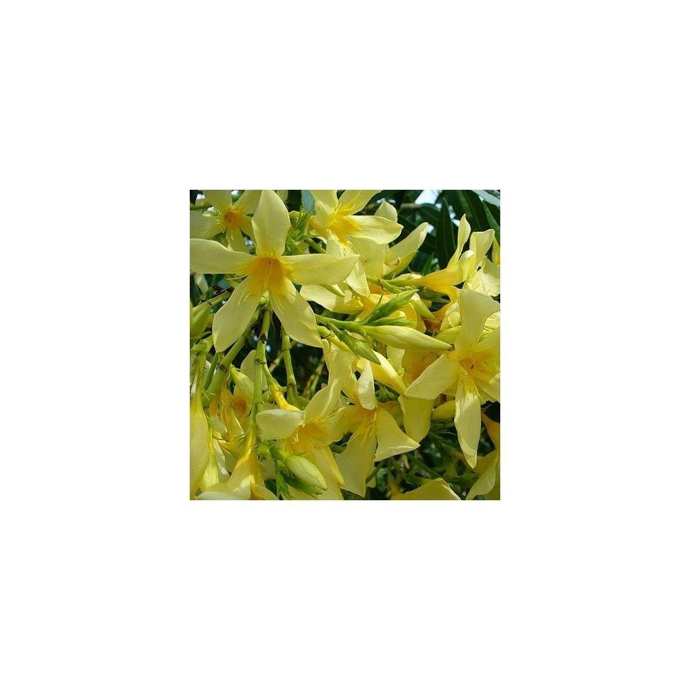 Laurier rose fleurs jaunes plantes et jardins for Fleurs plantes et jardins