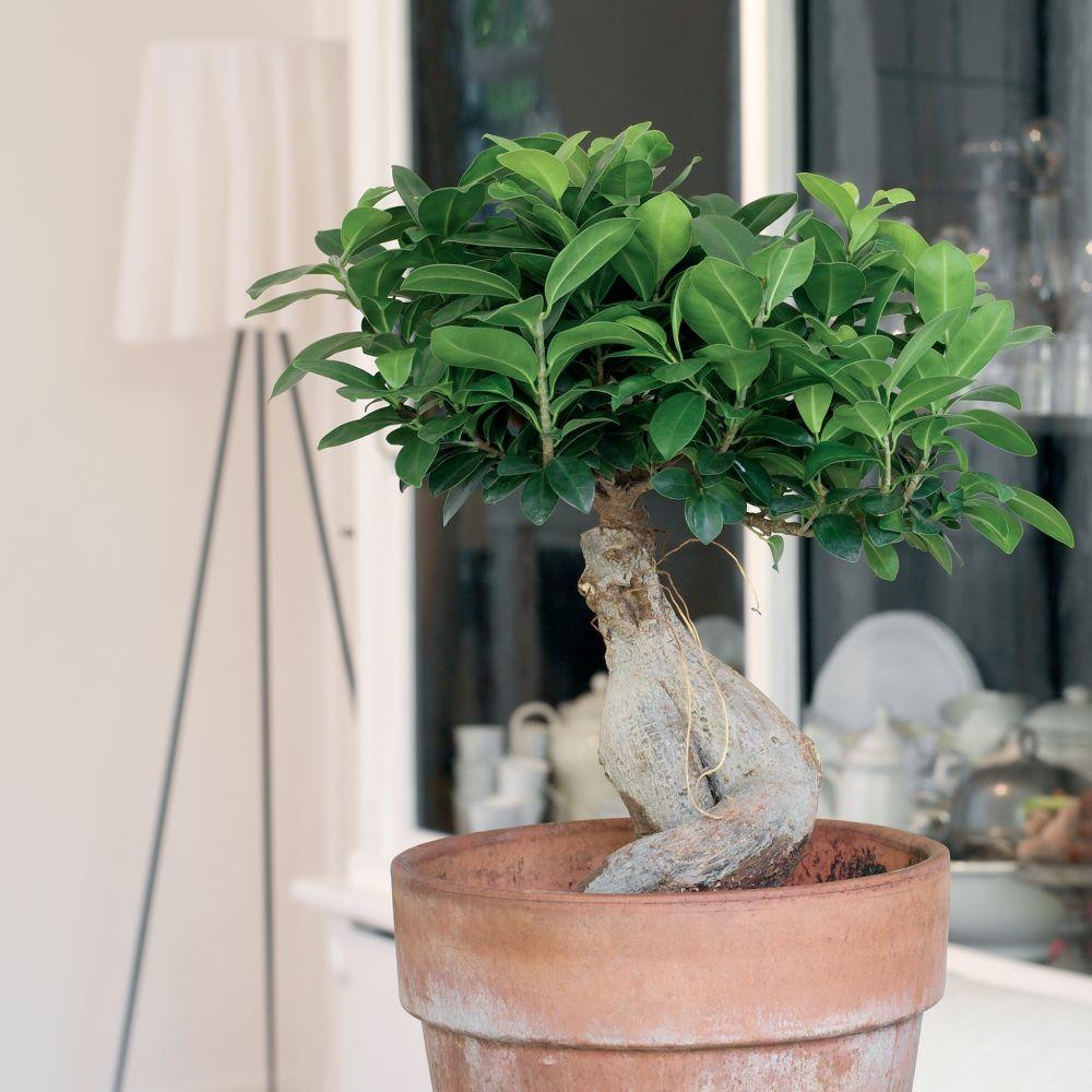 ficus 39 ginseng 39 plantes et jardins. Black Bedroom Furniture Sets. Home Design Ideas