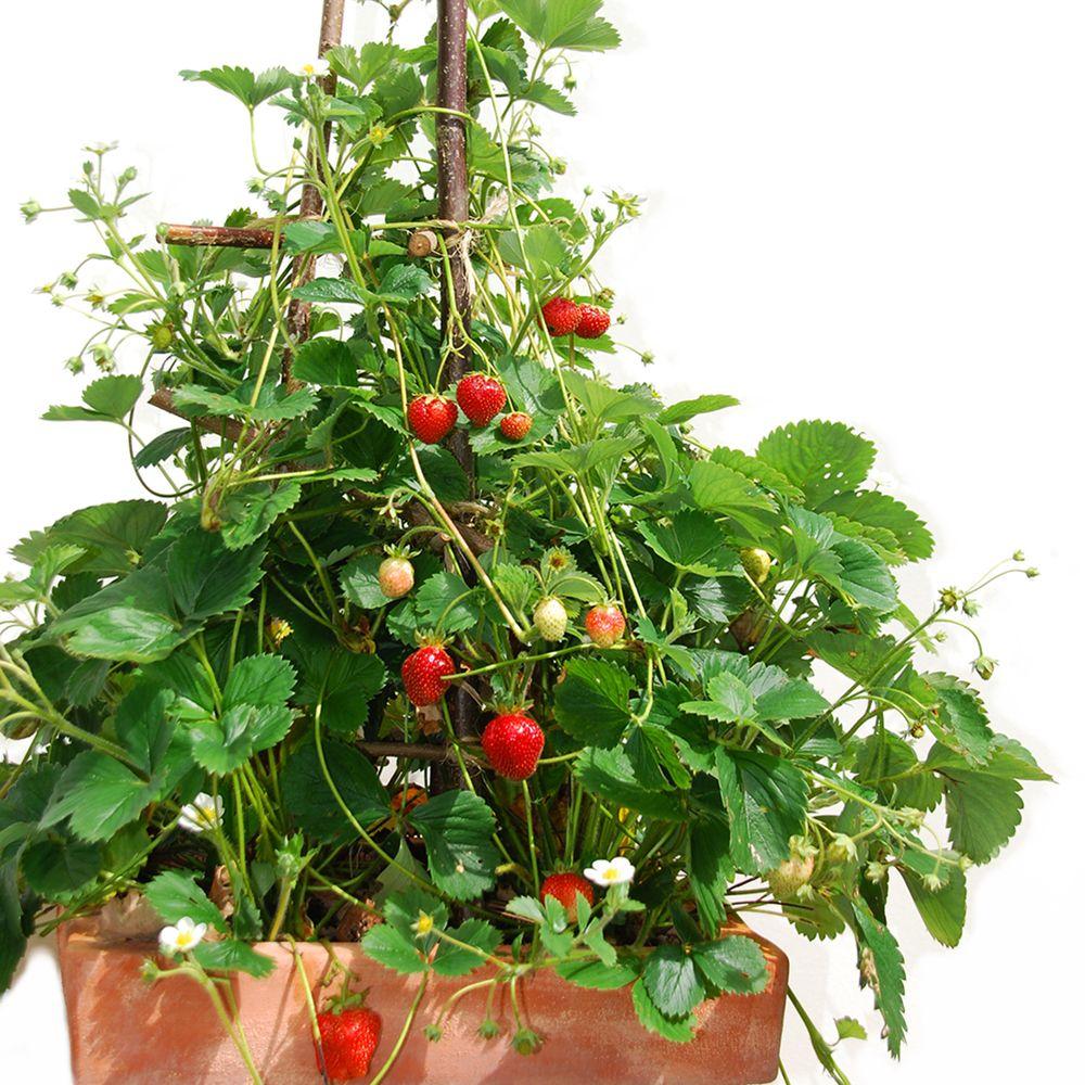 fraisier grimpant 39 mount everest 39 le lot de 5 plantes. Black Bedroom Furniture Sets. Home Design Ideas