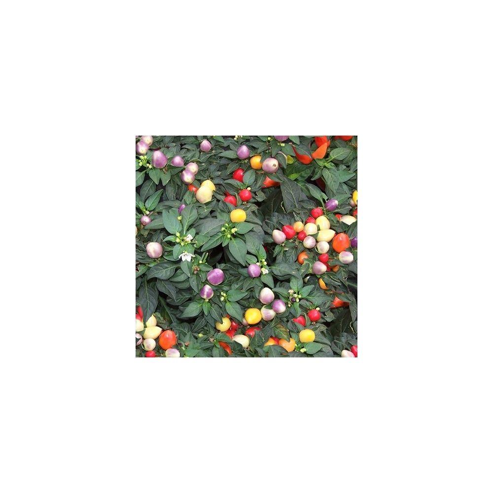 Piment plante d interieur 28 images piment d ornement for Plantes ornement jardin