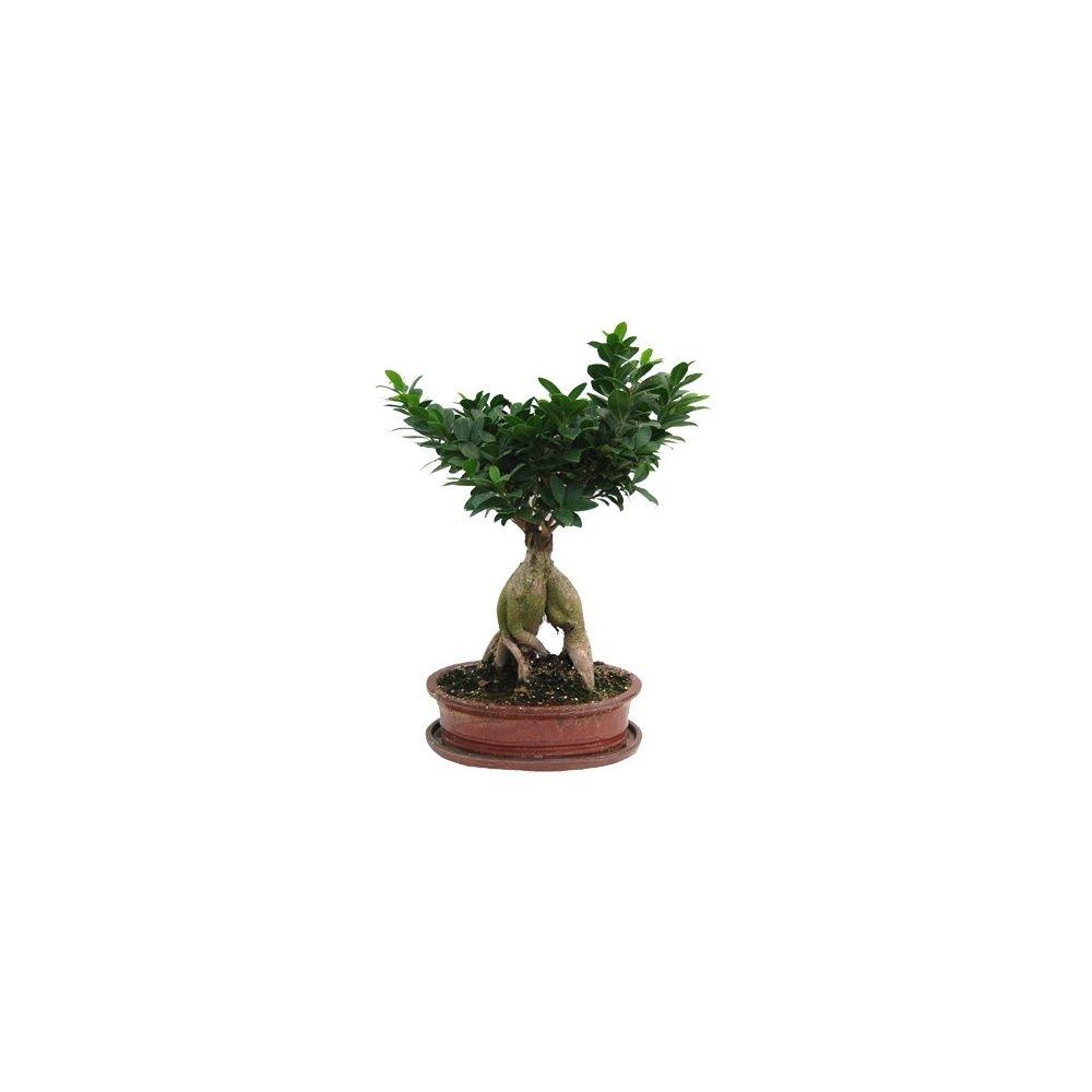 Ficus 39 ginseng 39 et son pot en ceramique couleur rouge plantes et jardins - Pot en ceramique pour plante ...