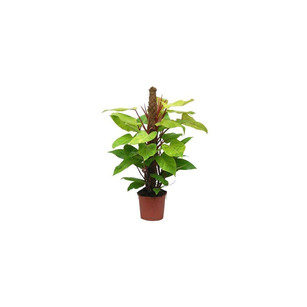 Philodendron medisa sur tuteur mousse plantes et jardins for Plantes et jardins adresse