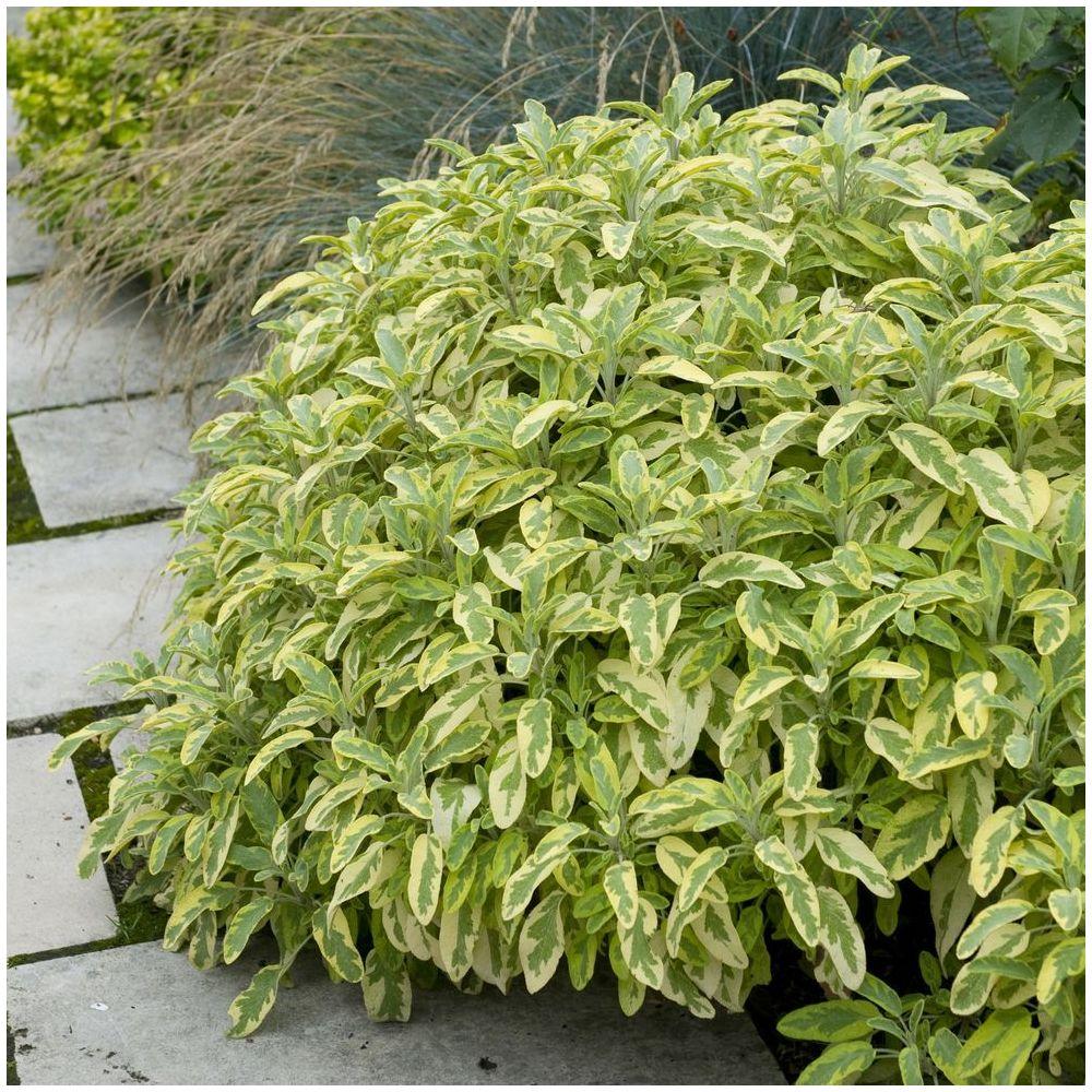 Salvia officinalis aurea plantes et jardins for Soldes plantes vertes