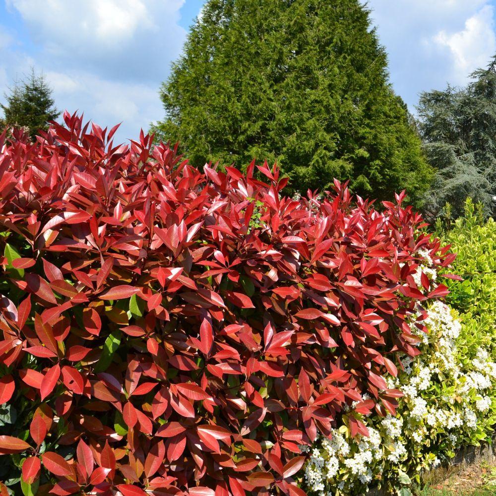 photinia 39 red robin 39 plantes et jardins. Black Bedroom Furniture Sets. Home Design Ideas