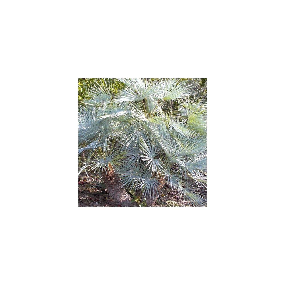 palmier nain 39 cerifera 39 plantes et jardins. Black Bedroom Furniture Sets. Home Design Ideas
