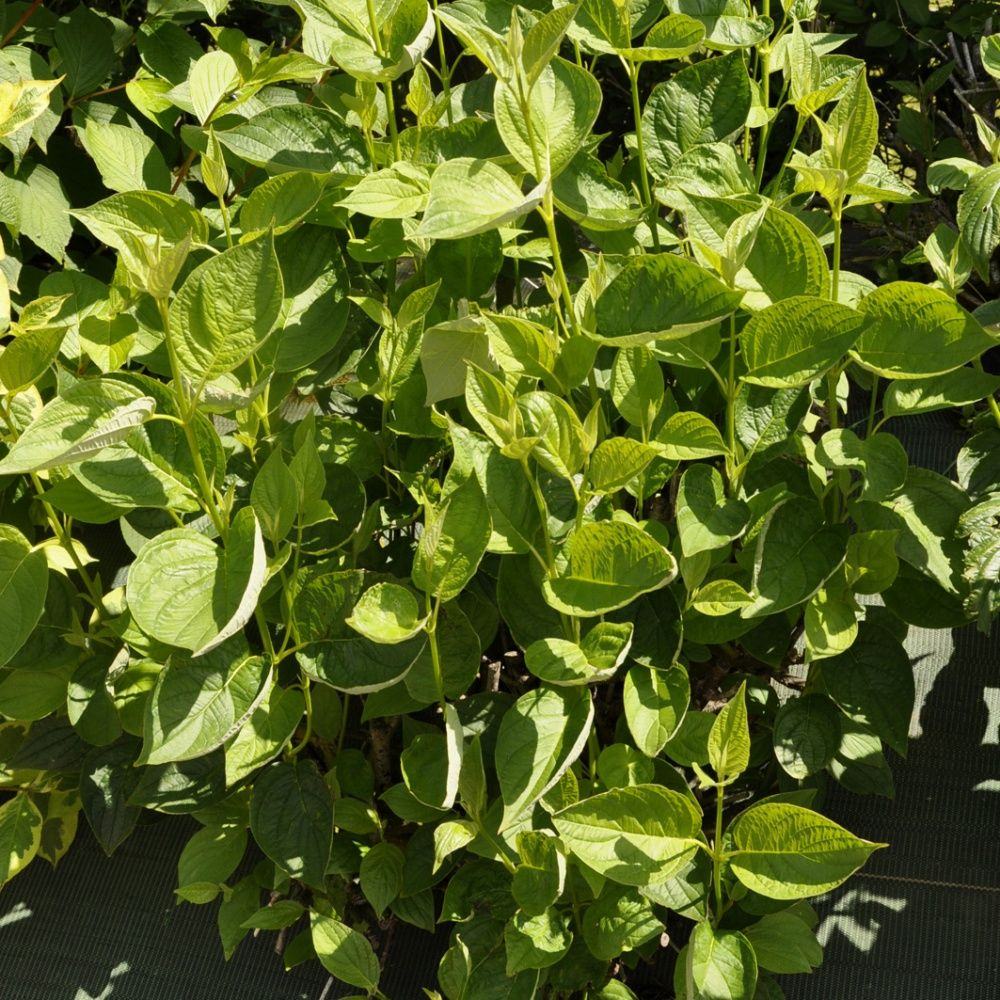 Cornouiller bois jaune 39 flaviramea 39 plantes et jardins for Arbuste interieur