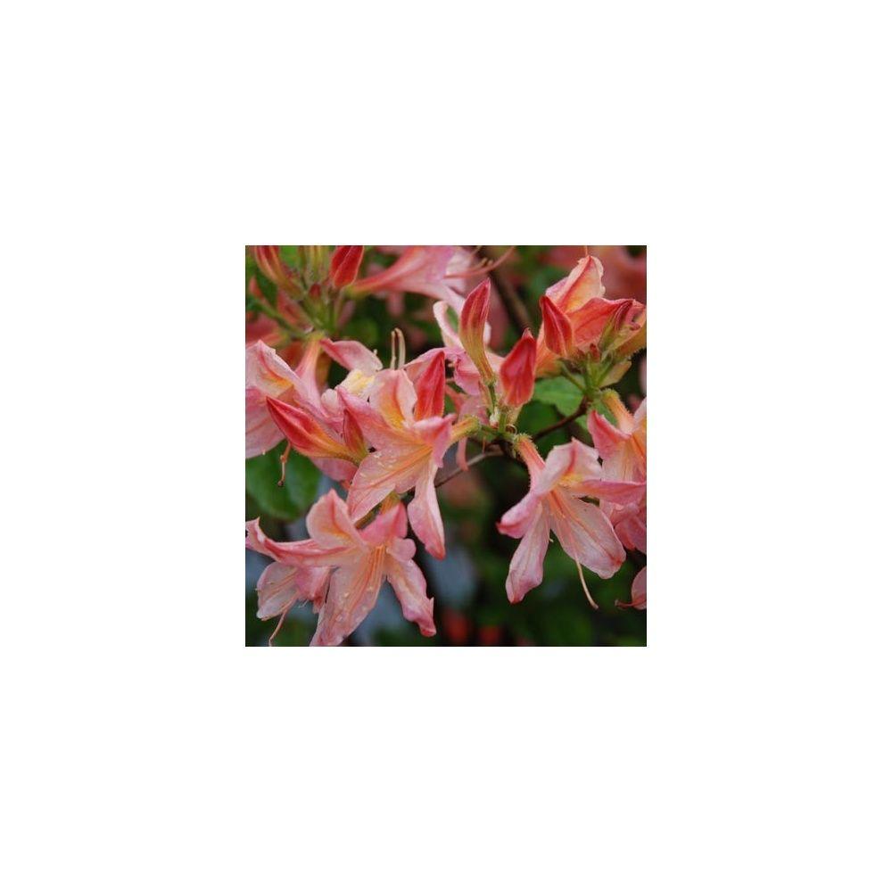 azal e de chine 39 apricot surprise 39 plantes et jardins. Black Bedroom Furniture Sets. Home Design Ideas