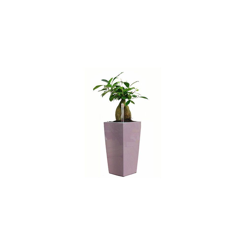 ficus 39 ginseng 39 rempot dans pot lechuza maxicubi mauve plantes et jardins. Black Bedroom Furniture Sets. Home Design Ideas