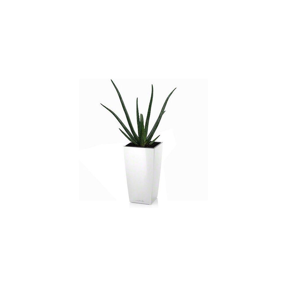 aloe vera rempot dans pot lechuza maxi cubi blanc plantes et jardins. Black Bedroom Furniture Sets. Home Design Ideas