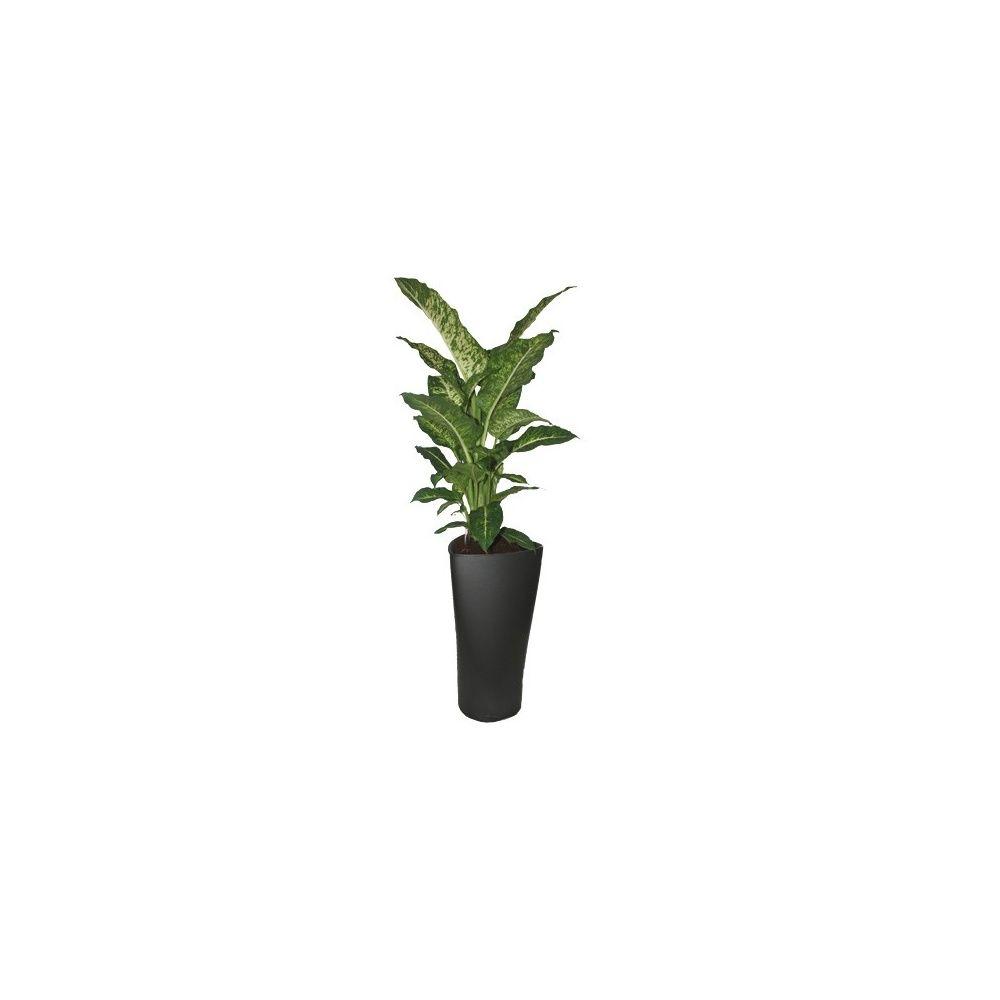 dieffenbachia 39 mars 39 rempot dans un pot lechuza anthracite plantes et jardins. Black Bedroom Furniture Sets. Home Design Ideas