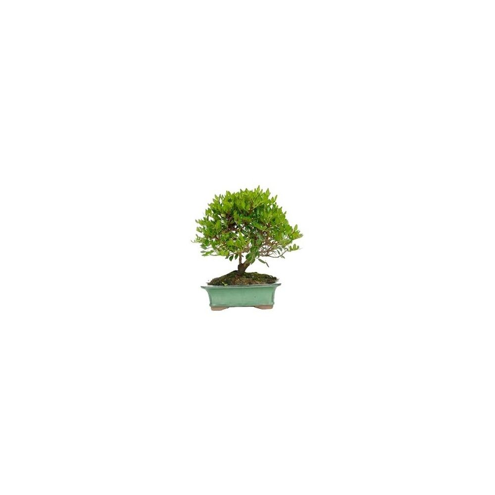 Bonsa d 39 ext rieur pistachier 8 ans plantes et jardins for Plantes et jardin exterieur