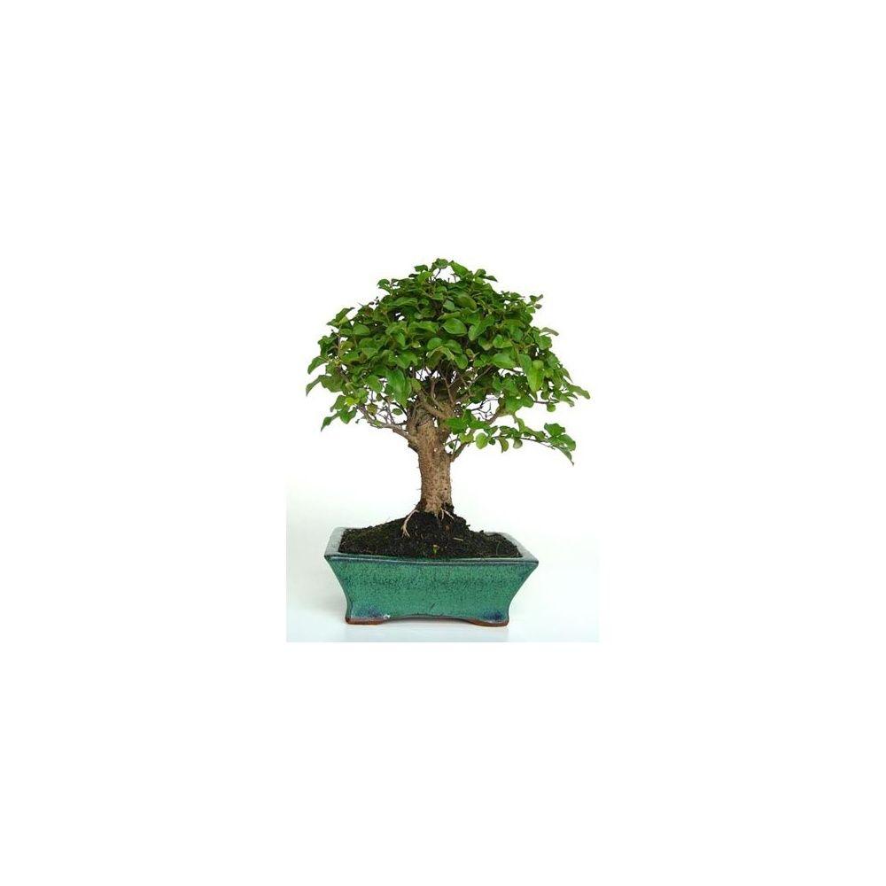 bonsa 239 d int 233 rieur tro 232 ne de chine 8 ans plantes et jardins