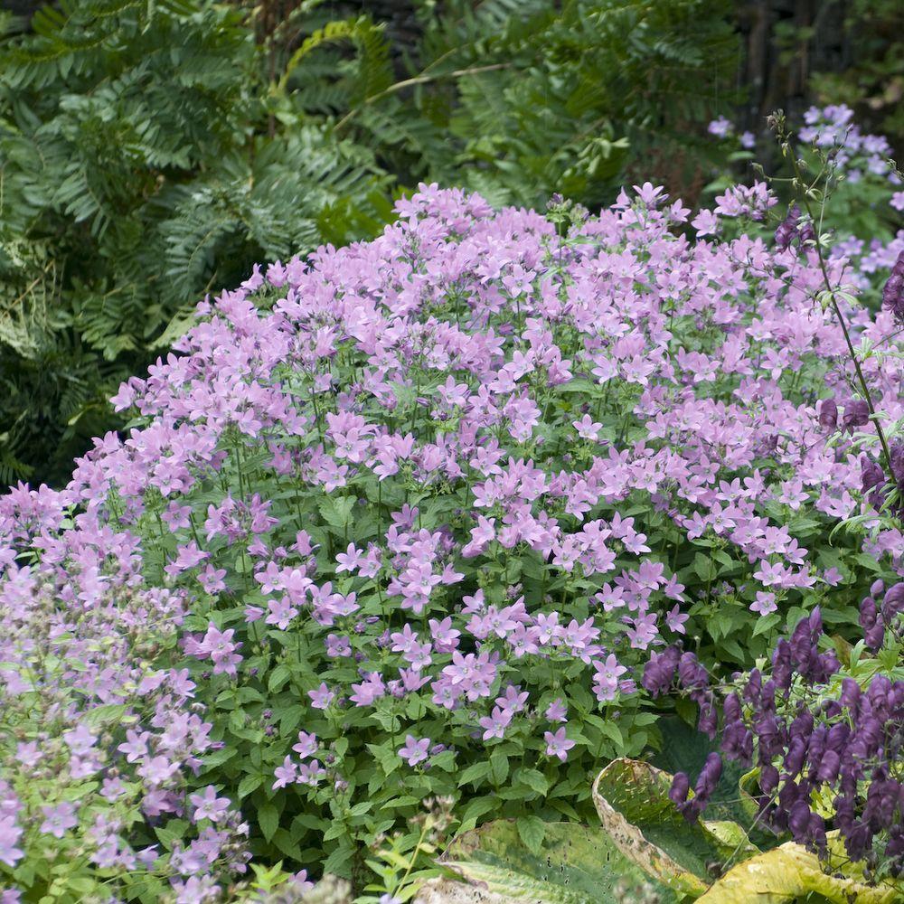 Campanule lactiflora 39 loddon anna 39 plantes et jardins for Plantes et jardins