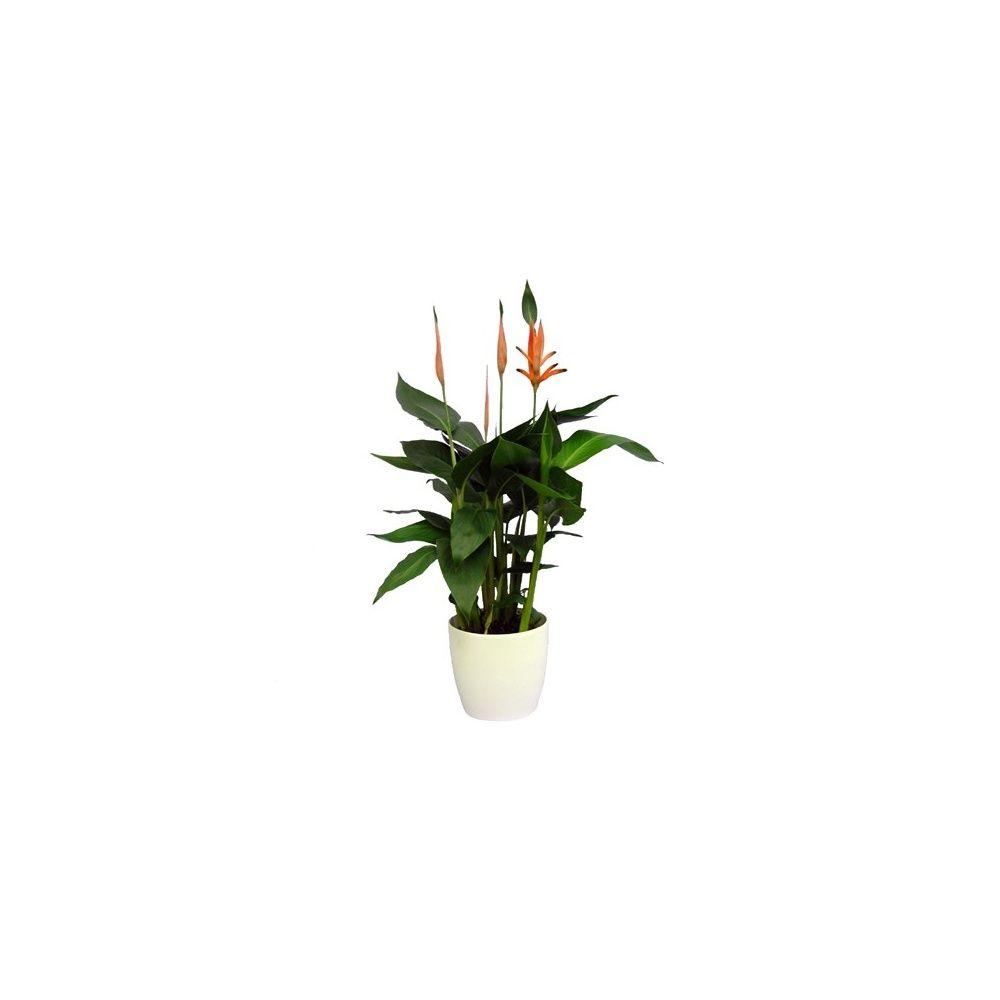heliconia cache pot blanc plantes et jardins. Black Bedroom Furniture Sets. Home Design Ideas