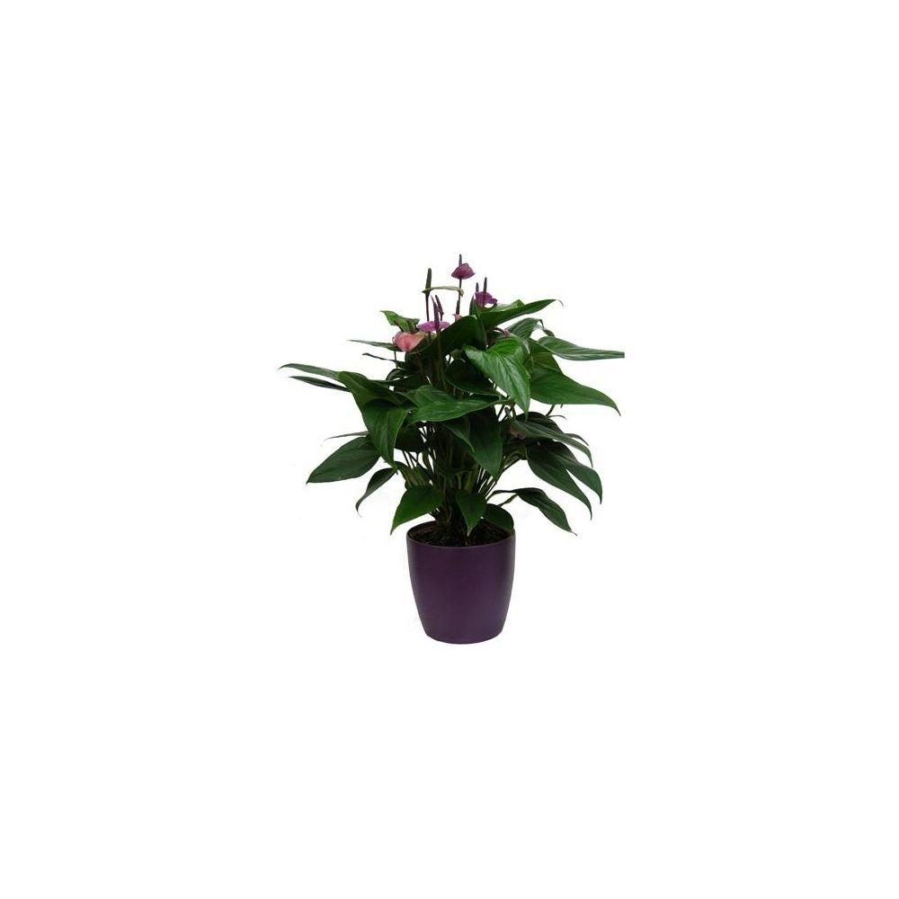 Anthurium violet + cache-pot violet... - Plantes et Jardins