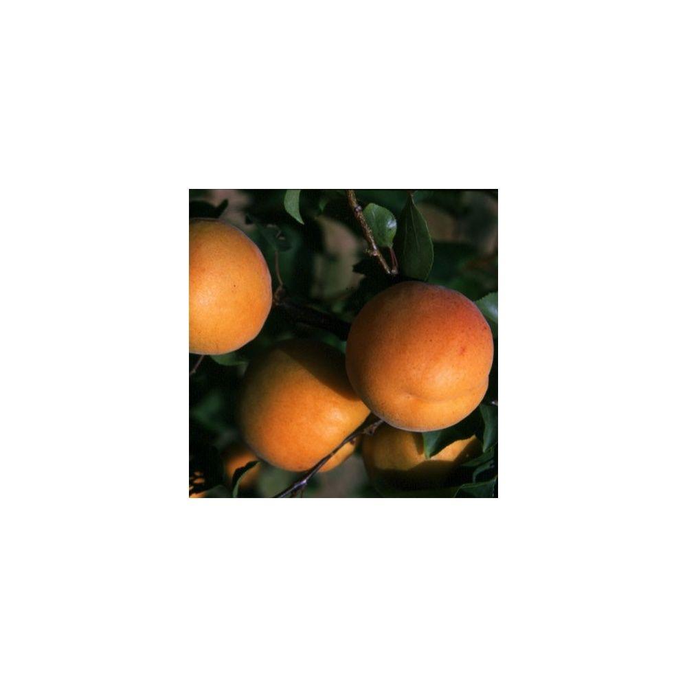 Abricotier 39 muscat 39 taille en gobelet plantes et jardins - Taille de l abricotier ...