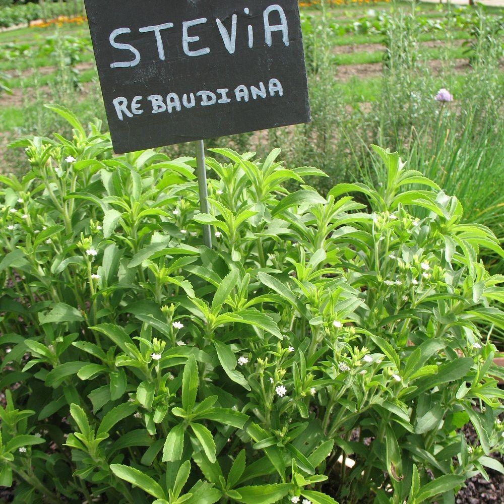 Stevia rebaudiana plantes et jardins for Achat plante jardin