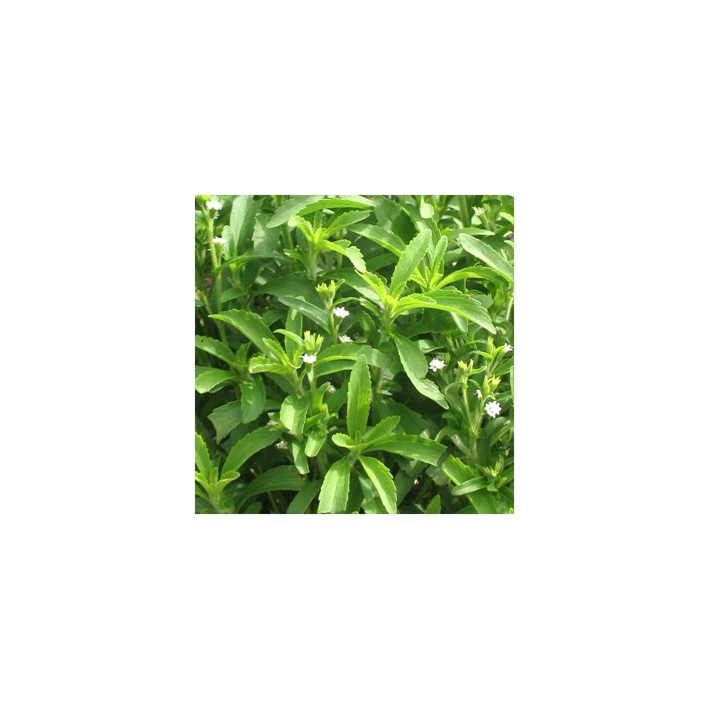 Stevia rebaudiana plantes et jardins for Plantes et jardins adresse